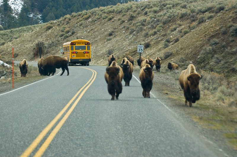 School is Out in Yellowstone-0690