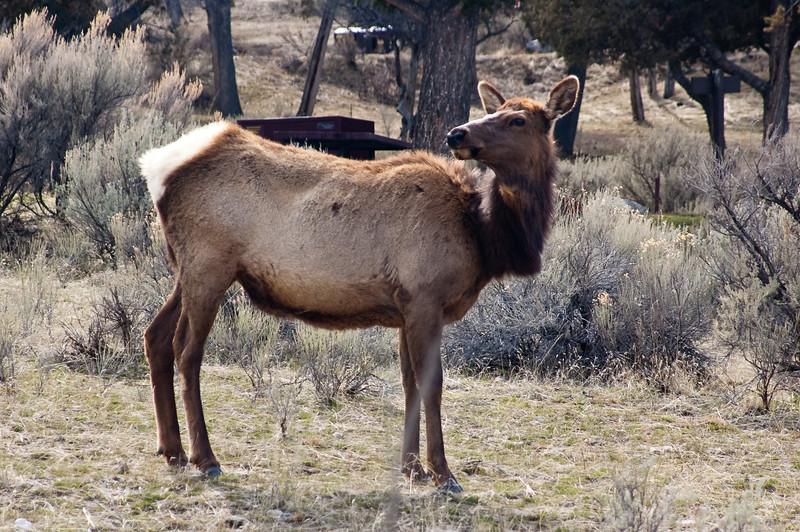 The Yellowstone Gate Greeter-0647