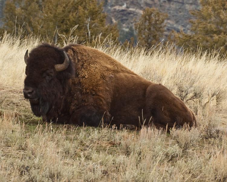 The Bull-0693