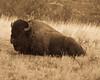 The Bull (in sepia)-0693-2