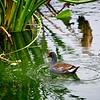 A common Moorhen in Boca Raton, Florida