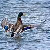 SRc1602_5369_Duck