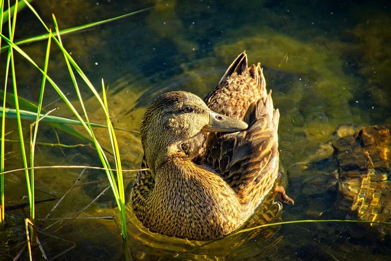 SRc1606_6161_Duck