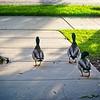 SRf2005_2330_Ducks