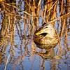 SRW1411_2720_Duck