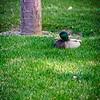 SRf2004_2124_Duck
