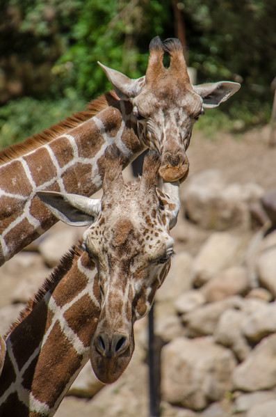 """I just love this pose! I can just imagine the baby Giraffe saying, """"This is my Mom, I love her!"""""""