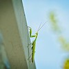 A pleasant surprise to see this Praying Mantis on my walk with Frankie Beans
