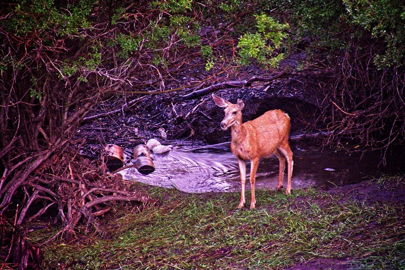 It was getting pretty dark, so I had to turn up the ISO on my camera to be able to have a fast enough shutter to capture this deer. It's still a bit blurry and grainy, but hey, at least I captured it!