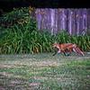 A Fox running through the neighborhood while I was out walking through the neighborhood