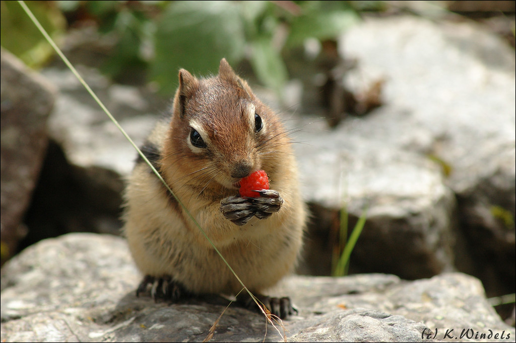 Golden-mantled Ground Squirrel enjoys a berry beside Lake Louise.