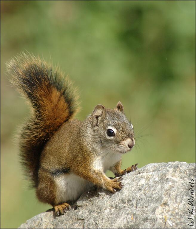 Red Squirrel @ Lake Louise