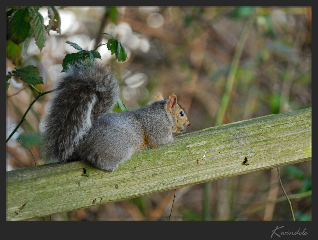 As soon as this furry critter saw me he tried his hardest to become invisible ... flattening himself against the fence rail. Nice try little one  :-)