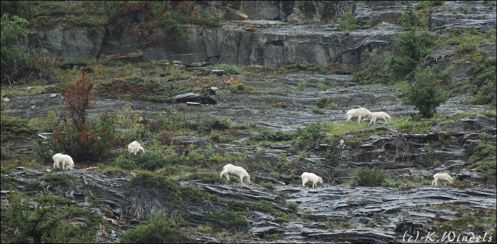 Moutain Goats way, way up the side of the mountain. Between the Columbia Ice Fields and Lake Louise.