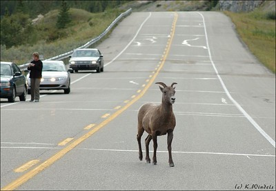 Why did the Moutain Sheep cross the road?  (On the way to Lake Louise)
