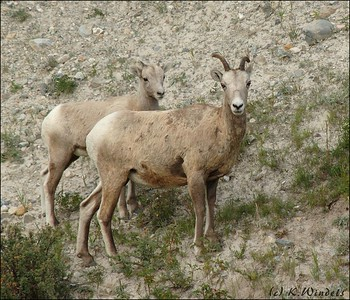 The rest of the Mountain Sheep family.  On the way to Lake Louise.