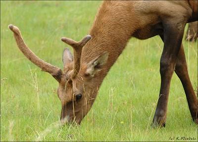 Elk @ Jasper Park Lodge