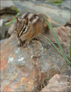 Red-tailed Chipmunk @ Lake Louise