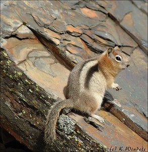 Golden-mantled Ground Squirrel @ Lake Louise