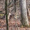 Kensington Deer
