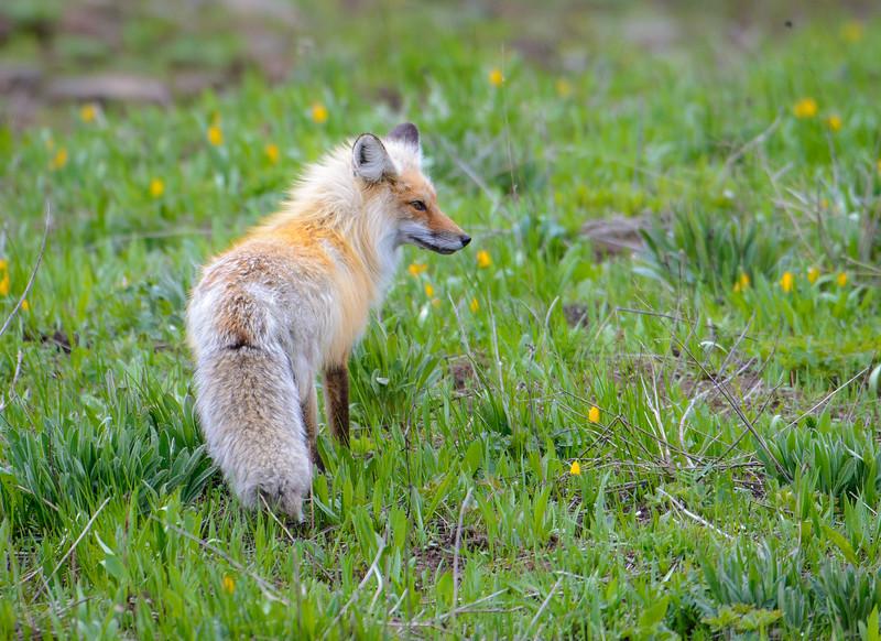 Red Fox   Yellowstone NP