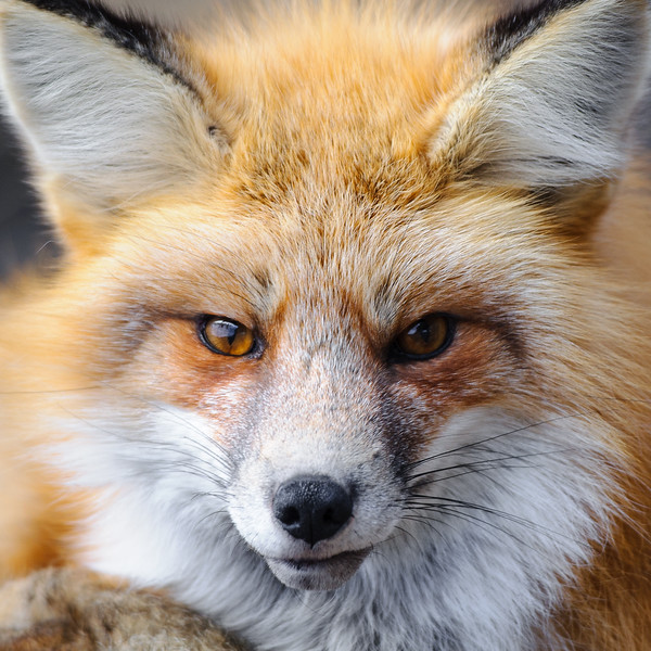Fox Stinkeye