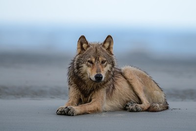 Coastal Wolf | British Columbia