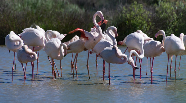 Flock of Flamingos Resting in the Sun