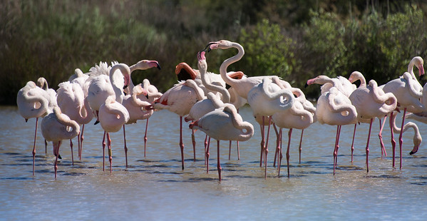 Conversing Flamingos in Bird Refuge
