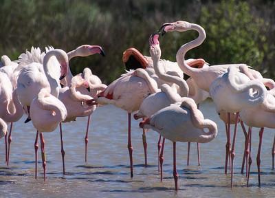 Conversing Flamingos