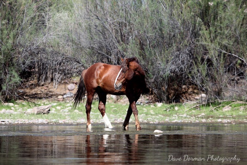 Salt River Wild Stallion
