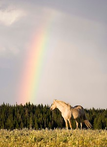 Cloud under the Rainbow - Pryor Mtn Wild Mustang