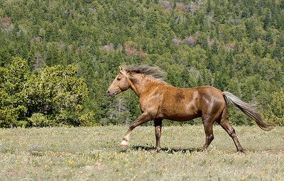 Pryor Mountain Wild Mustang , Boulder