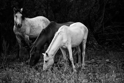 Wild Horses #1