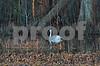 DSC_2328 Swan in Canal crop