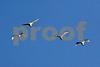 DSC_1837 Four Swans overhead crop