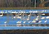 DSC_2344 Ibis, Swans, Seagull crop