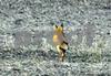 DSC_2006 Red Fox running away 4x6 crop