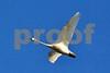 DSC_1840 Tundra Swan crop