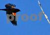 DSC_1956 XCU Redwinged Blackbird