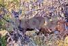 DSC_2239 Deer 2 wn