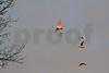 DSC_2406 Five Swans Flying