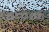 DSC_2591 Redwing Blackbirds Flocking in Road crop 4x6