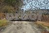 DSC_2590 Redwing Blackbirds Flocking on Bear Road