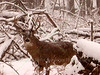 Buck in Snowstorm