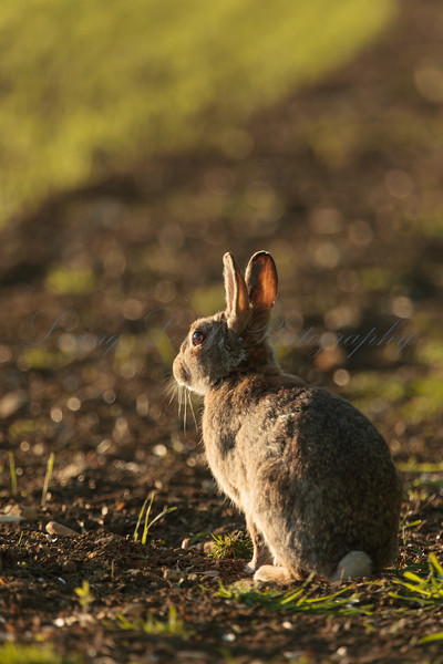 Rabbit looking out over the fields at the end of a spring day