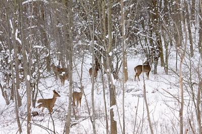 Herd of Deer in the woods