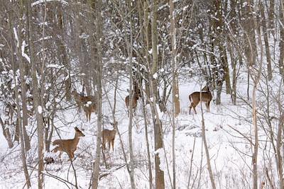 Herd of Deer in the woods