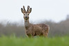 Roe Deer buck, on the look out at the edge of the Somerset Levels near Glastonbury