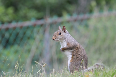 A Grey Squirrel sitting in grass looking at the camera